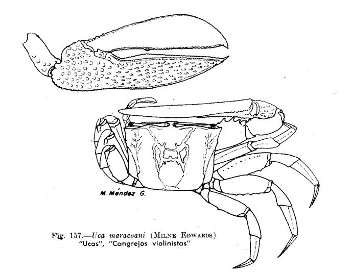 por que el cangrejo violinista no es reconosido un animal peruano 157-2