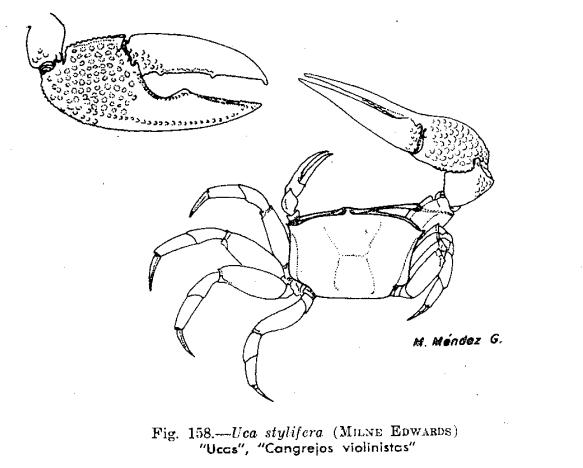 por que el cangrejo violinista no es reconosido un animal peruano 158-2