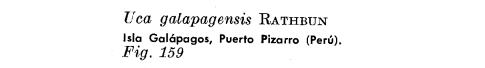por que el cangrejo violinista no es reconosido un animal peruano 159-1
