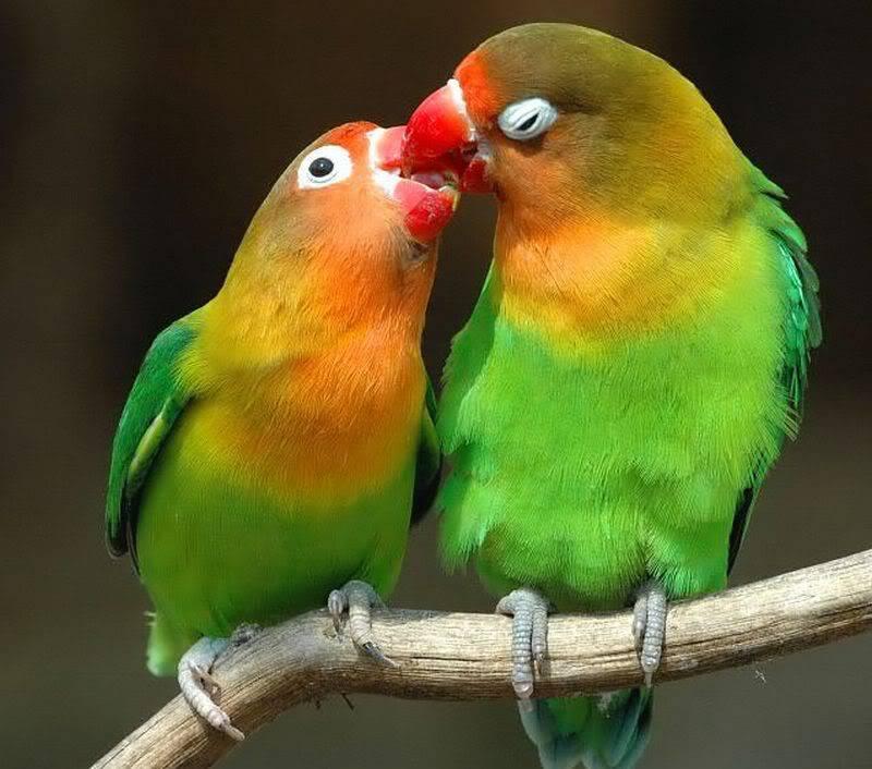 கவலை மறக்கும் காட்சிகள் அழகிய பறவைகள் சில.. - Page 4 Lovebirds-1