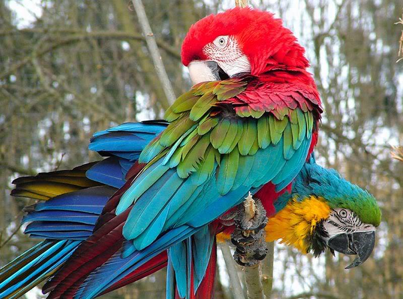 கவலை மறக்கும் காட்சிகள் அழகிய பறவைகள் சில.. - Page 5 Macaw
