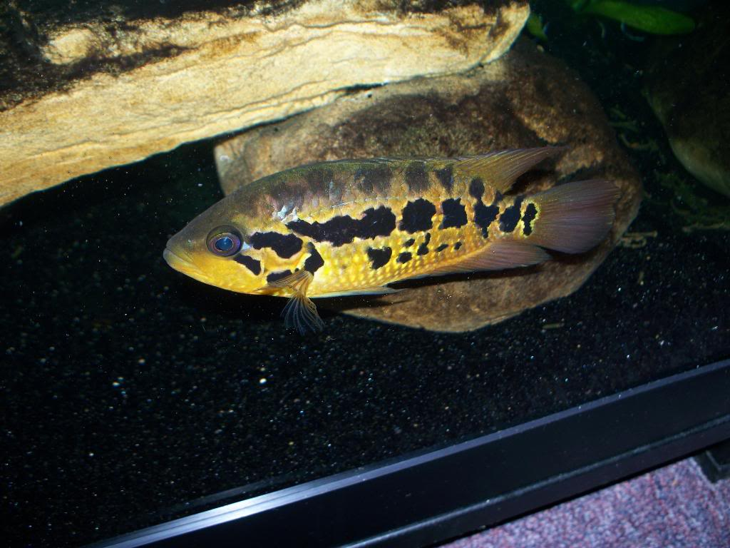 Parachromis Loisellei 001