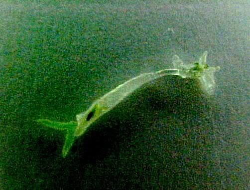 Lerneose (Verme Âncora) e Argulose (Piolho de Peixe) Femea
