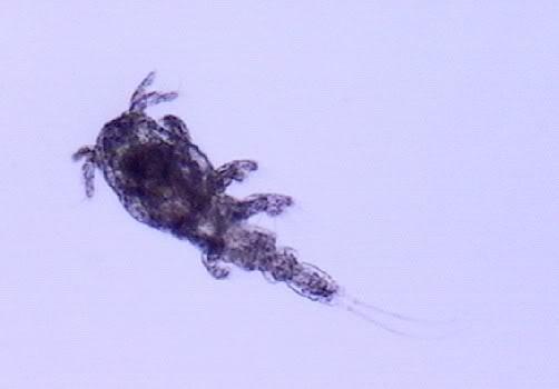Lerneose (Verme Âncora) e Argulose (Piolho de Peixe) Lernaea-sp_Copepodito
