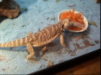 I fed my Bearded Dragon his first pinkie =D Spyro3-1