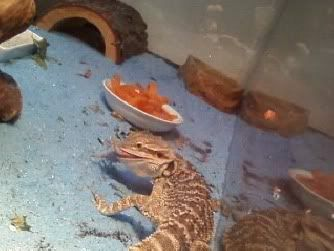 I fed my Bearded Dragon his first pinkie =D Spyro4-1