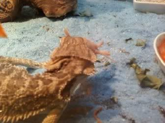 I fed my Bearded Dragon his first pinkie =D Spyro5-1