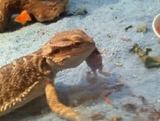 I fed my Bearded Dragon his first pinkie =D Spyro8