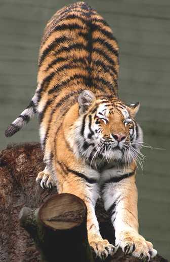 [b]My lOve[/b] Tiger_Siberian
