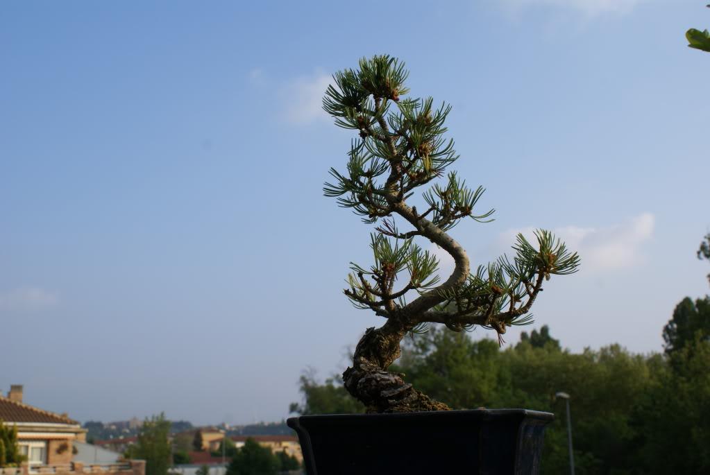 diseño olivo, manzano, ligustrum, piracantha, penthaphylia DSC04626