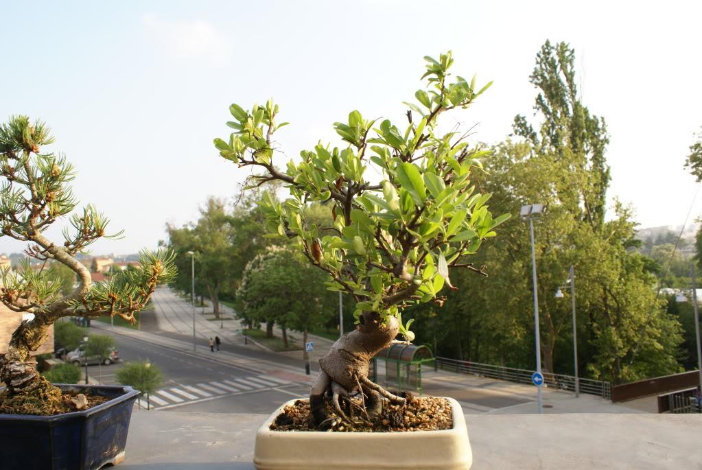 diseño olivo, manzano, ligustrum, piracantha, penthaphylia DSC04627