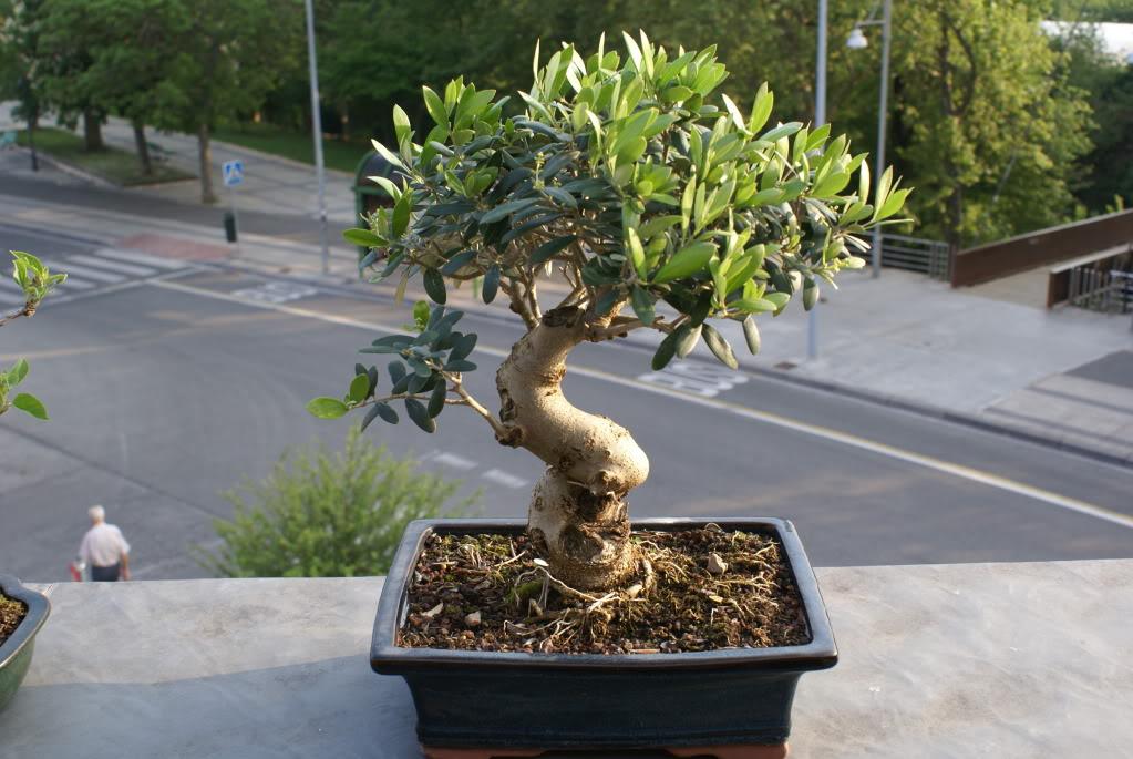 diseño olivo, manzano, ligustrum, piracantha, penthaphylia DSC04628