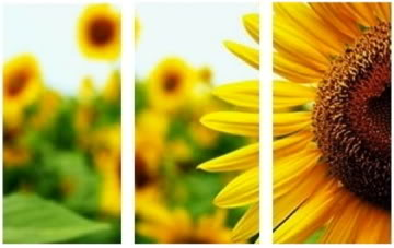 Cancer - June 22 - July 22 Sunflower