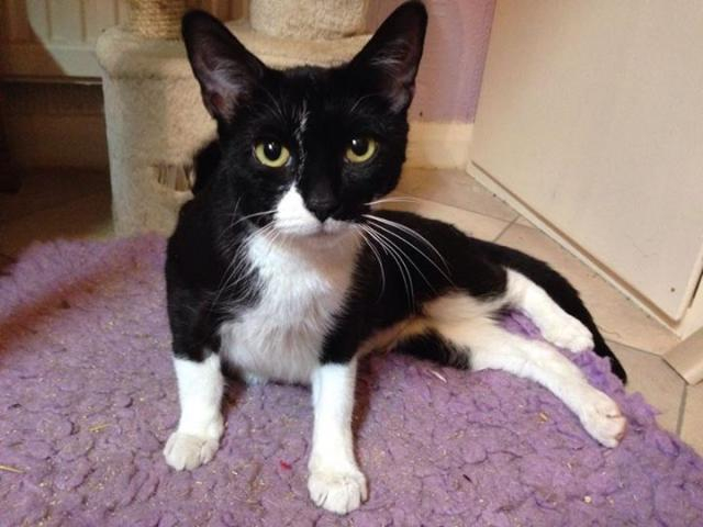 Sasha - young, female cat - SURREY  10805794_738829546198257_6164587360693535994_n_zpsded47409
