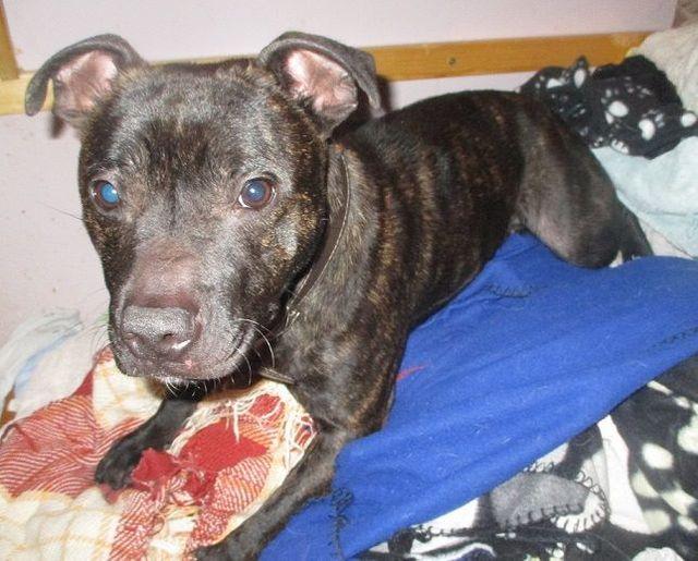 Sprout - Staffie puppy - Surrey  10929155_10153236192184085_8049000066992740048_n_zpsusc6lzfw