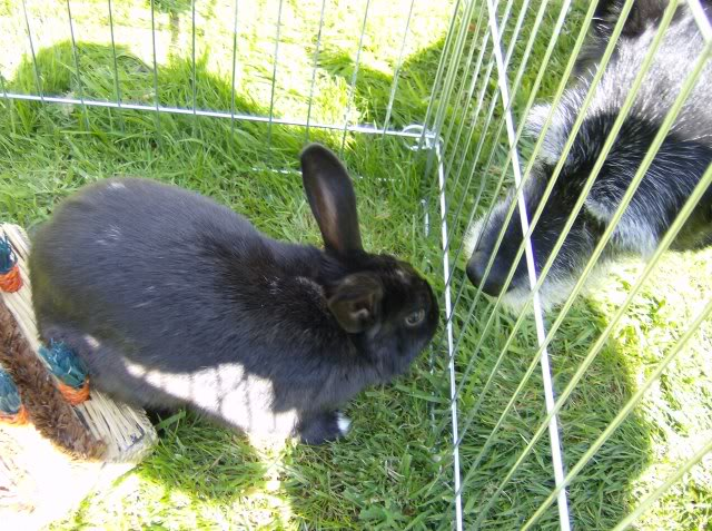 Bertie - 8 month old male rabbit, Caterham. HPIM1217