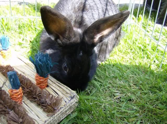 Bertie - 8 month old male rabbit, Caterham. HPIM1221