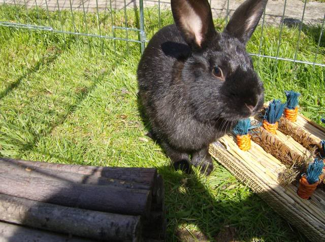 Bertie - 8 month old male rabbit, Caterham. HPIM1225