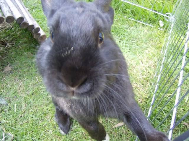 Bertie - 8 month old male rabbit, Caterham. HPIM1255