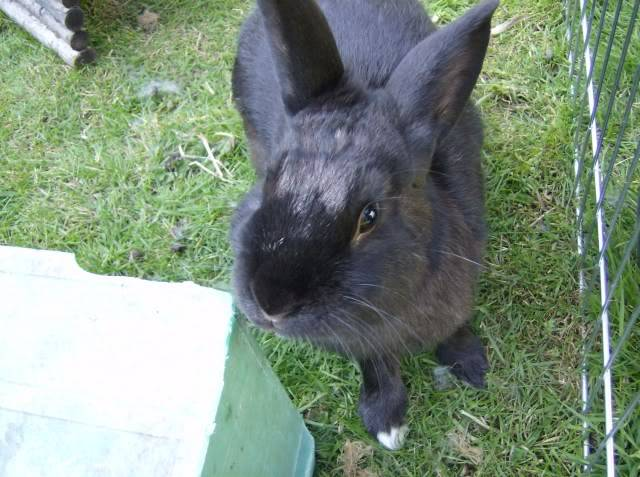 Bertie - 8 month old male rabbit, Caterham. HPIM1259