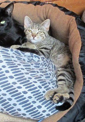Adventurous - kitten - Surrey  Adv_zpslthzr7vq