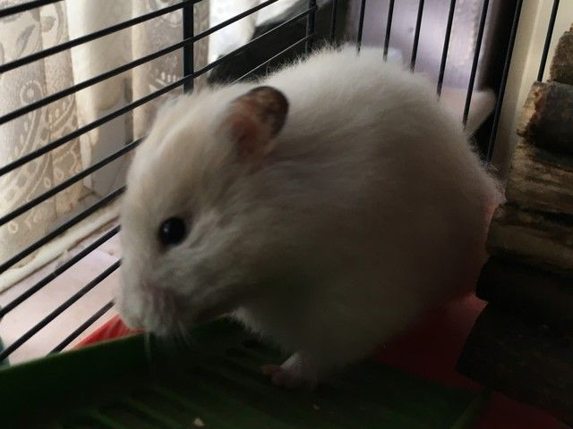 Cotton - young Syrian hamster - Surrey  Babyham_zpstdm4gxse