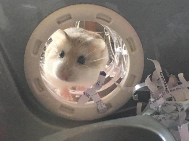 Batman - Roborovski hamster - Surrey  Batman_zps5futdq4i