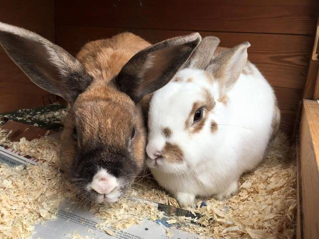 Bumble and Bee - elderly rabbits - Surrey  Bumblebee_zpscn67af6b