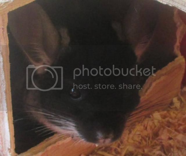 Churchill - male neutered Chinchilla - SURREY Chin_zps15d15e6f