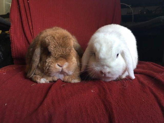 Crunchie and Flossie - Mini lops - Surrey  Crunchieflossie_zpsn1gvuqds