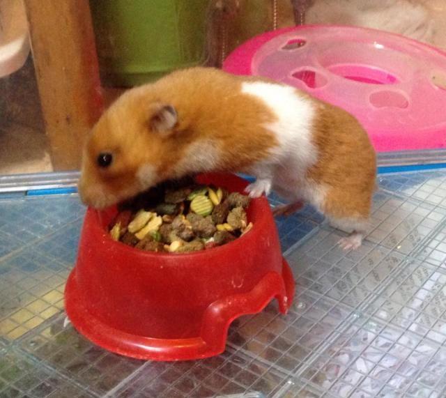5 month old Syrian hamster - Surrey Ham_zpscbd8af60