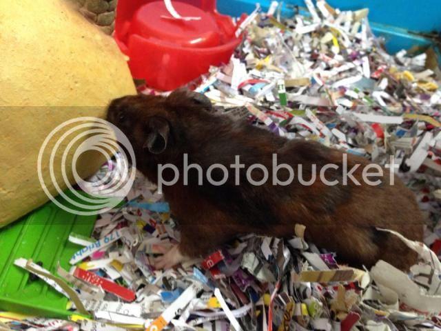 Ninja - male hamster - Surrey Ninja_zpsff303002