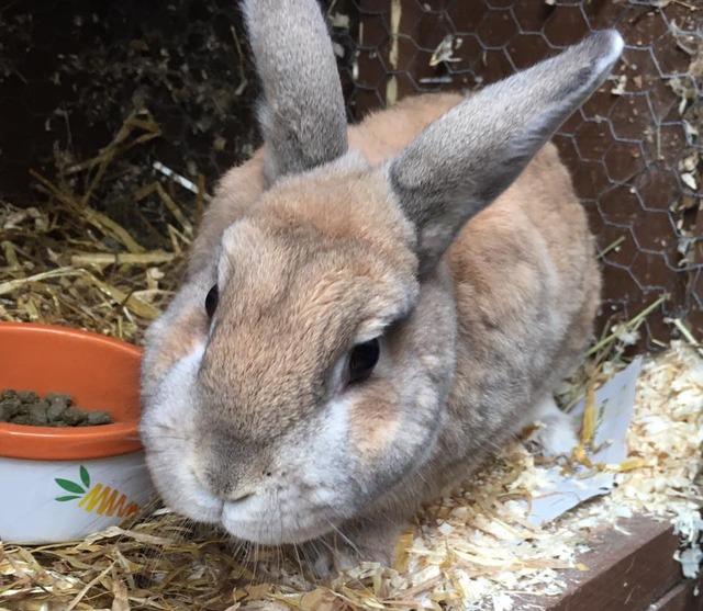 Nugget - older male rabbit - Surrey Nug2_zps5nfyuoqc