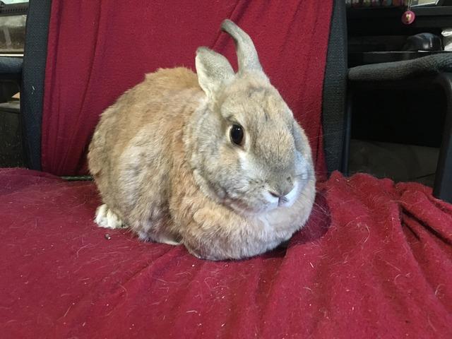 Nugget - older male rabbit - Surrey Nugget_zps845wkiaw