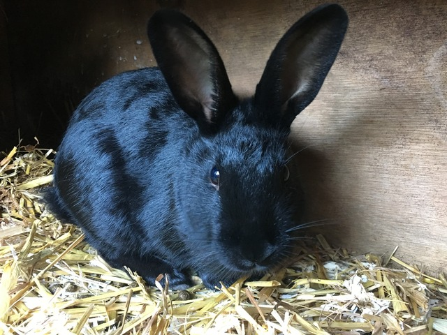 Pascal - male rabbit - Surrey  Pascal_zpsjsf7whyk