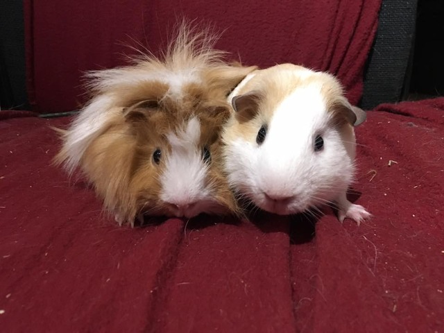 Alvin and Theodore - 2xmale guinea pigs - Surrey Pigs_zpsnrvy0dsz