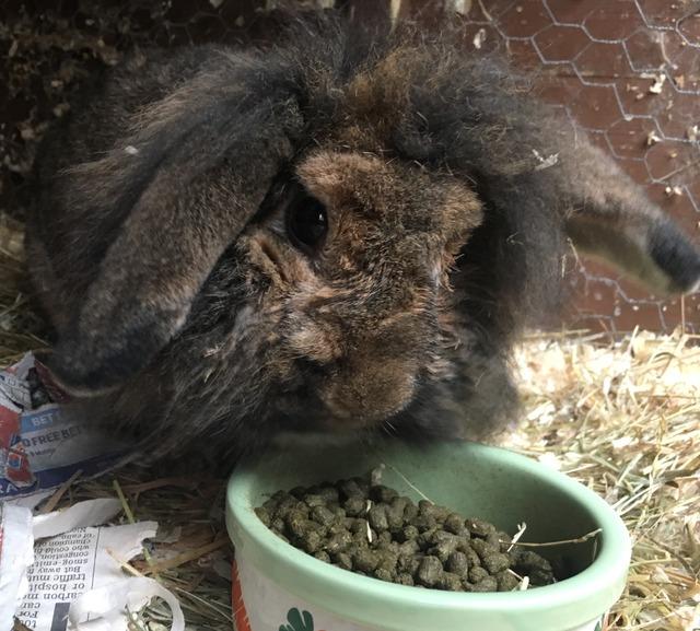 Pip - large male rabbit - Surrey Pip_zpsgfvd6bo5