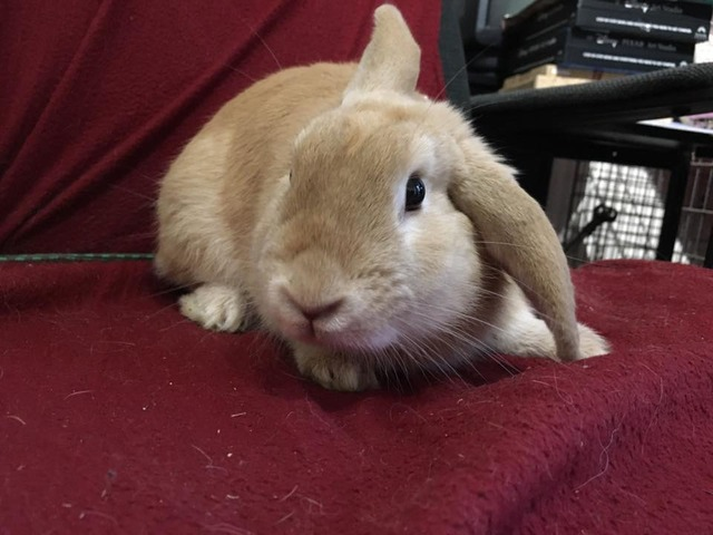 Pumpkin - Special home needed - male rabbit - Surrey  Pumpkin1_zpsxoywsgaj