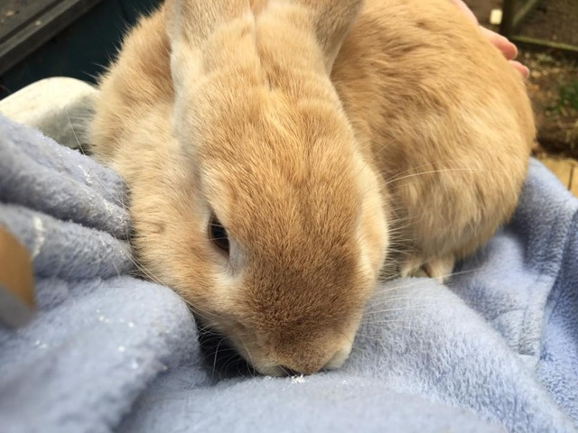 Pumpkin - Special home needed - male rabbit - Surrey  Pumpkin2_zpsmocnftsx