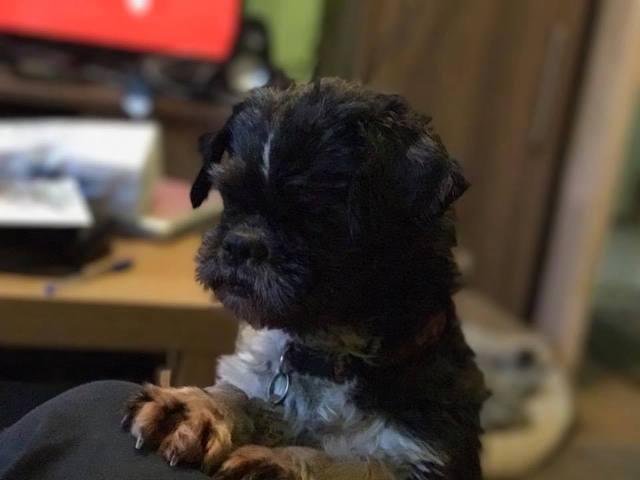 Queenie - Older Shih tzu - Surrey Queenie3_zpsk3lkoicx