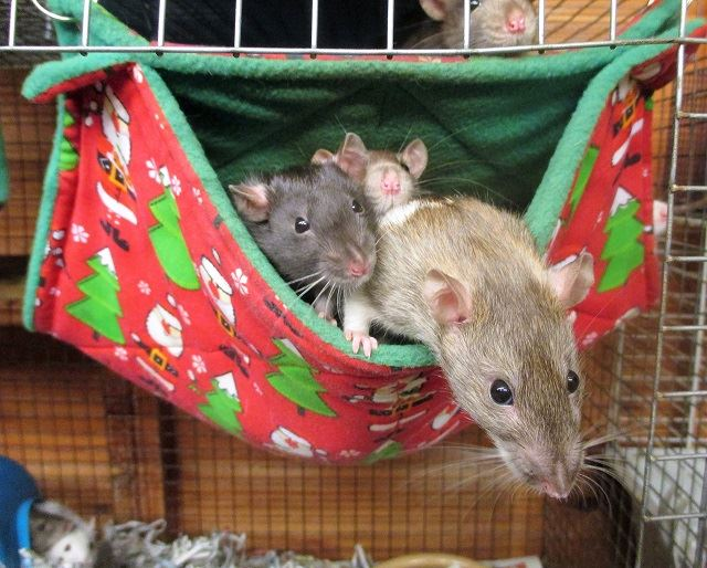 50 rats - males and females - range of ages - SURREY Rats4_zps94dcndxt