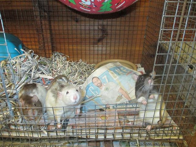 50 rats - males and females - range of ages - SURREY Rats_zpsy05r0wto