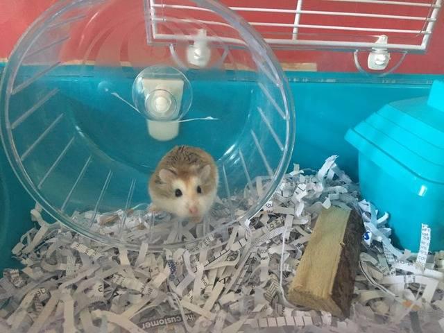 Robin - Roborovski hamster - Surrey  Robin_zpseqgclcxo