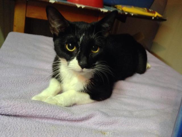 Sasha - young, female cat - SURREY  Sasha_zps52c29e50