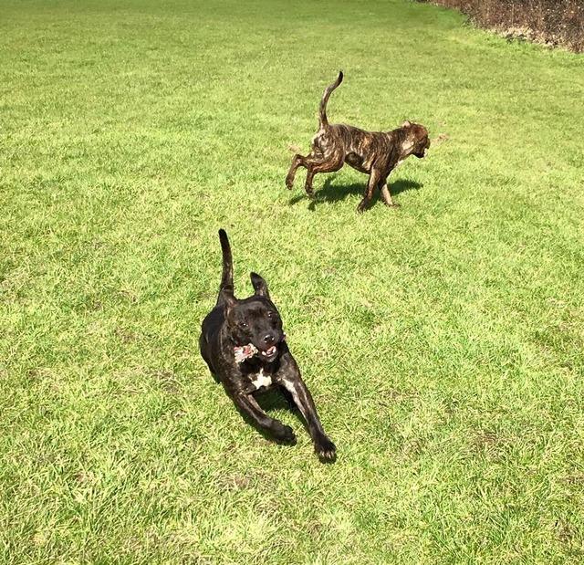 Sprout - Staffie puppy - Surrey  Sprout_zpsonvxsjij