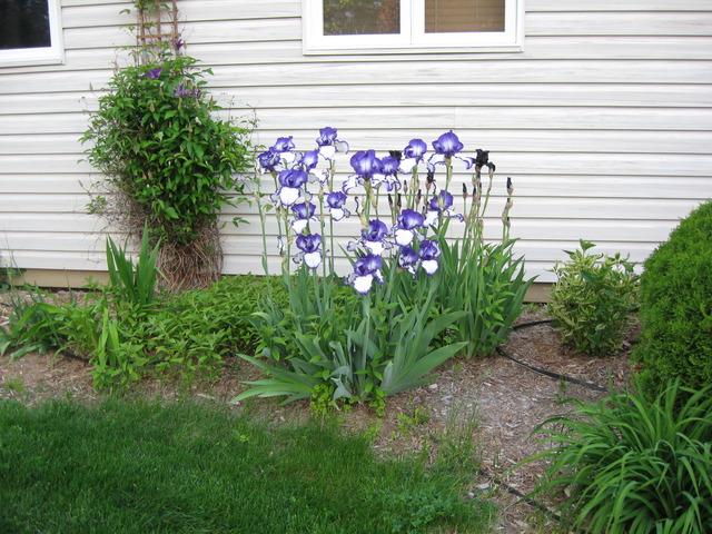 Ces iris qui se ressemblent IMG_2435