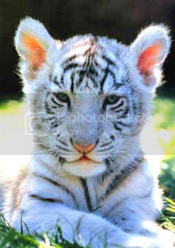 [b]My lOve[/b] Siberian-tiger-00081