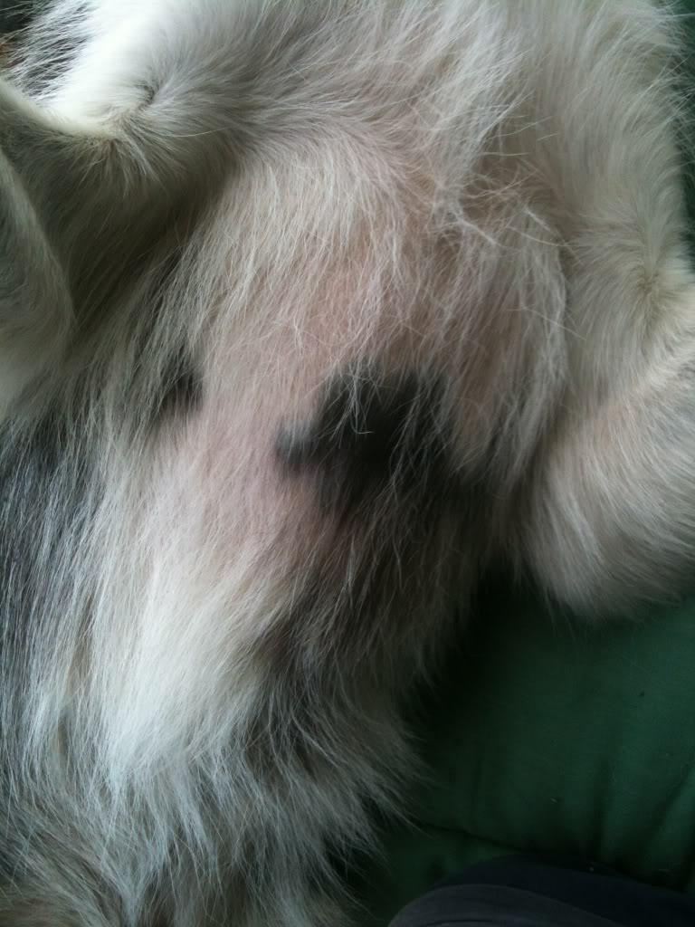 Bald spot on chest + Umbilical Hernia? 71f5e3a1