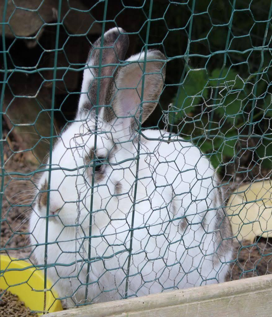 Poules, lapine et canards  05-13043_zpsf516f4e9