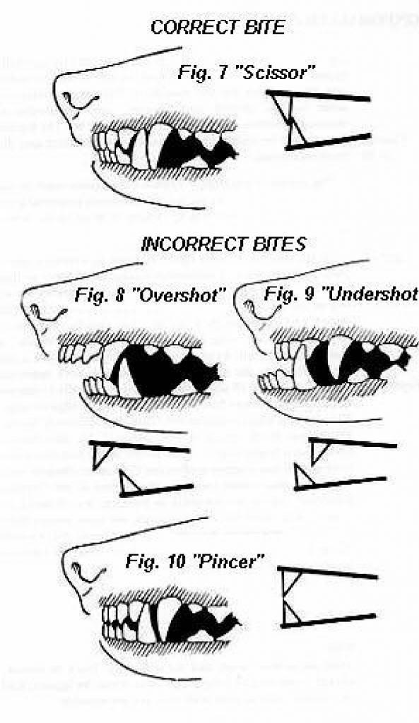 Les dents et machoires  Teethfgebitf_zps8462bc72
